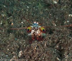 BD-090926-Lembeh-9264167-Odontodactylus-scyllarus-(Linnaeus.-1758)-[Reef-odontodactylid-mantis-shrimp].jpg